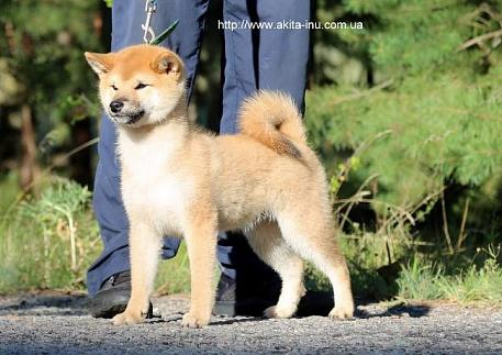 Купить маленькую собачку породы Шиба / Сиба Ину из питомника